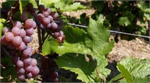 Fils à vigne Crapal®2